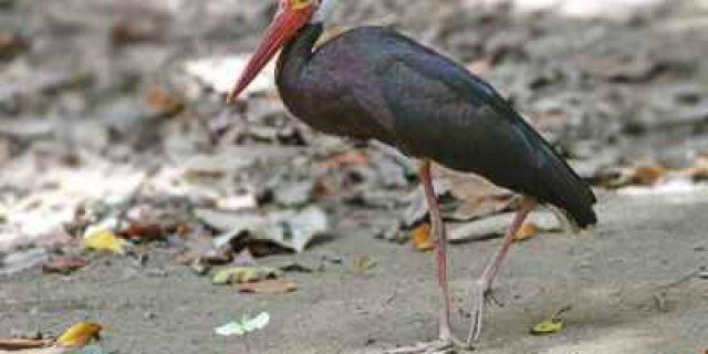 2 Burung di Riau Ini Statusnya Terancam Punah